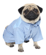 Douge Couture formal Blue stripes shirt with white bow dog/cat