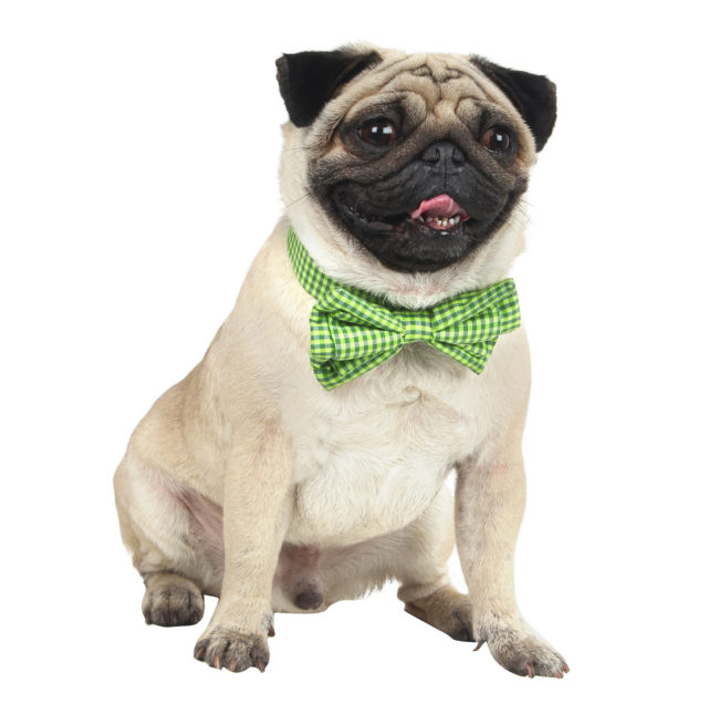 Douge Couture smart check bow collar for dog/cats green color check