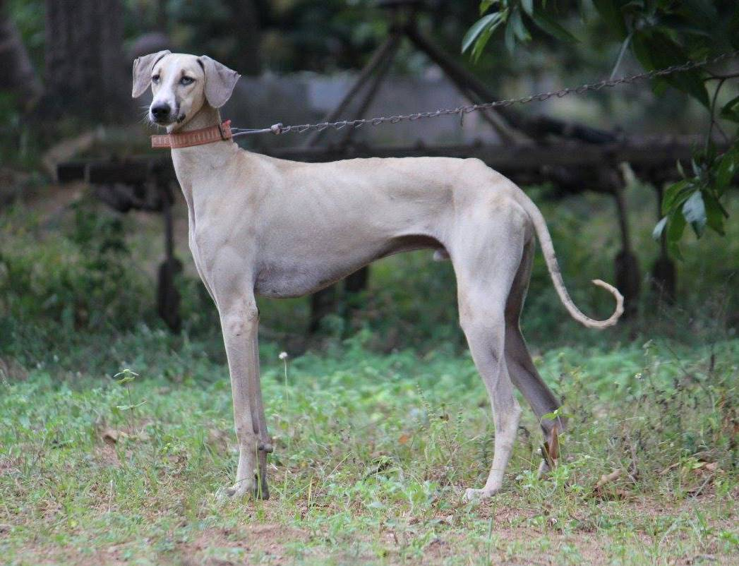 Two Rare Dog Breeds of South India with an excellent History