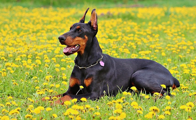 Doberman Pinscher guard breeds