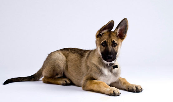10 Reasons Why German Shepherd is a Good Family Dog